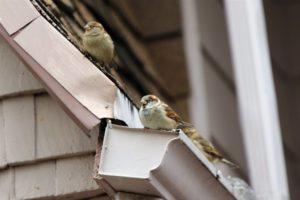 birds on house gutters